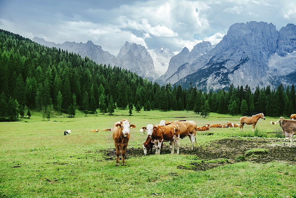 Cows and horses grazing in lush valley below mountains, Drei Zinnen Nature Park, South Tyrol, Italy