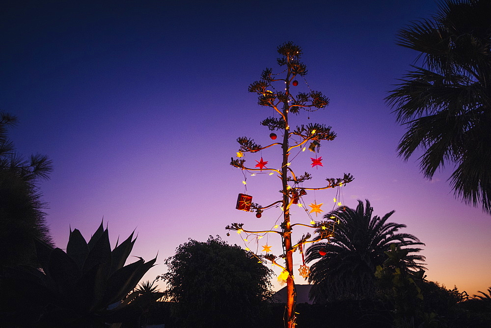 Agave blossom tree decorated with Christmas ornaments, Costa Teguise, Lanzarote, Spain