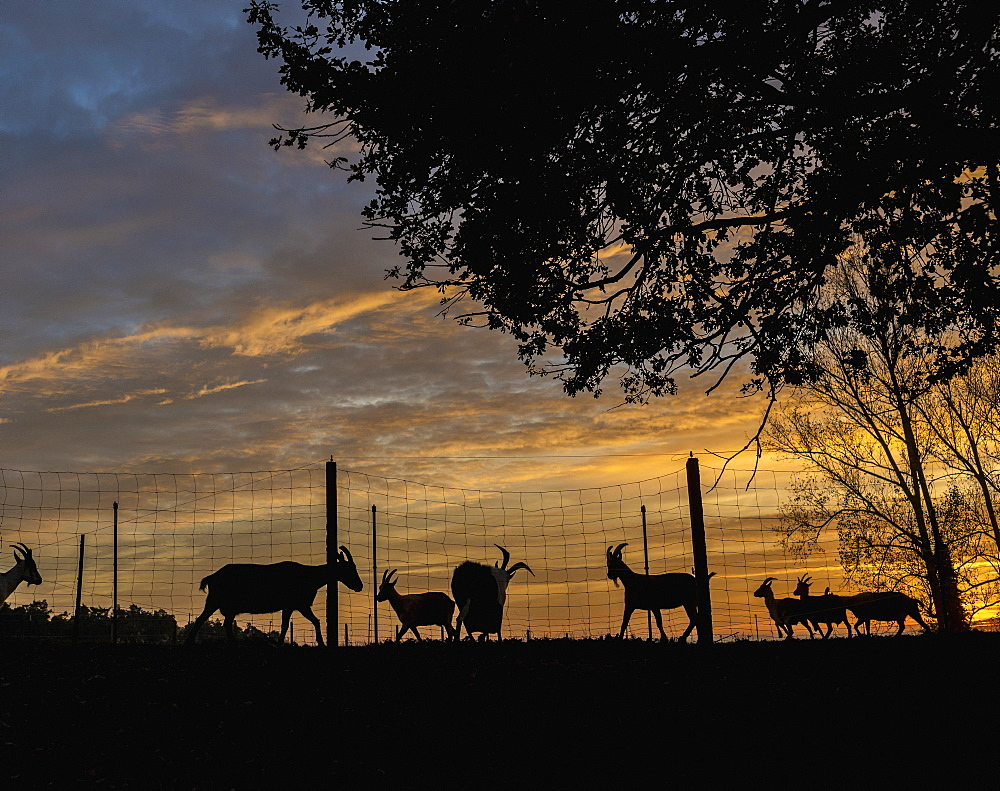 Silhouette goats on farm at sunset