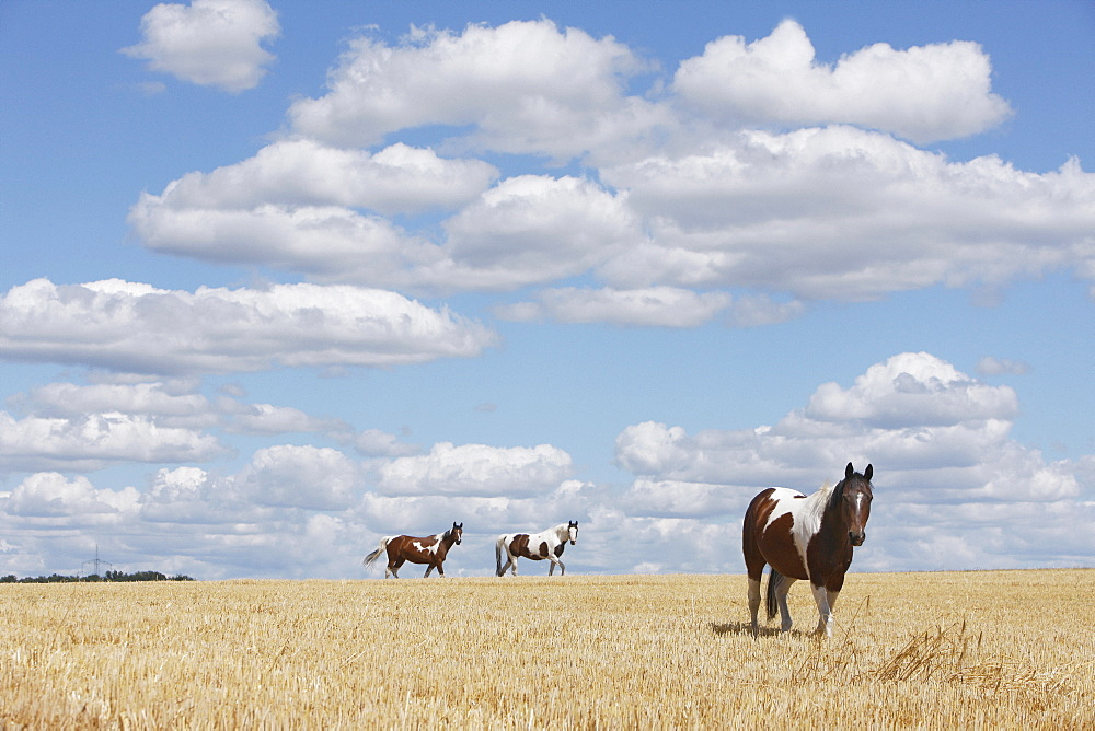 Brown and white horses in sunny rural, idyllic field