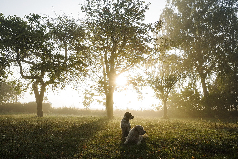 Spanish Water Dogs in idyllic rural field at sunrise