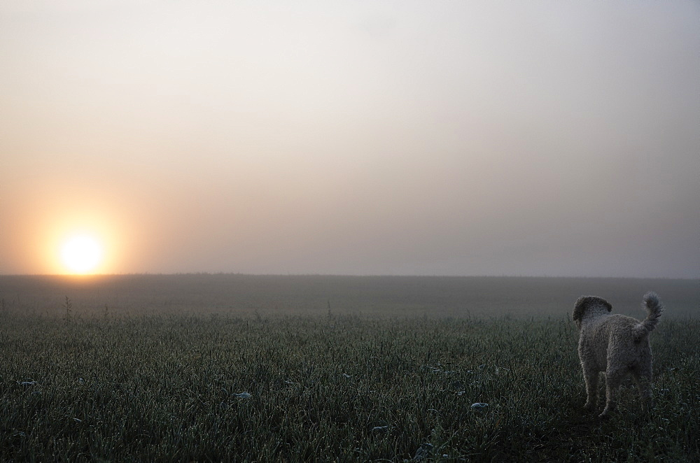 Spanish Water Dog watching sunrise over tranquil, foggy rural field