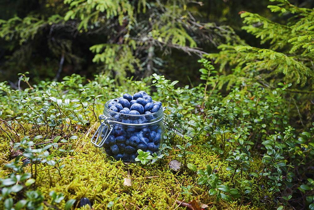 Fresh, ripe blueberries in jar in woods