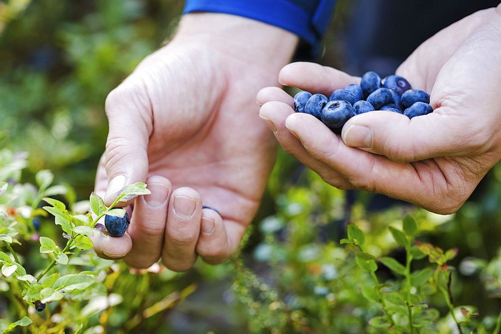 Hands picking fresh, ripe blueberries