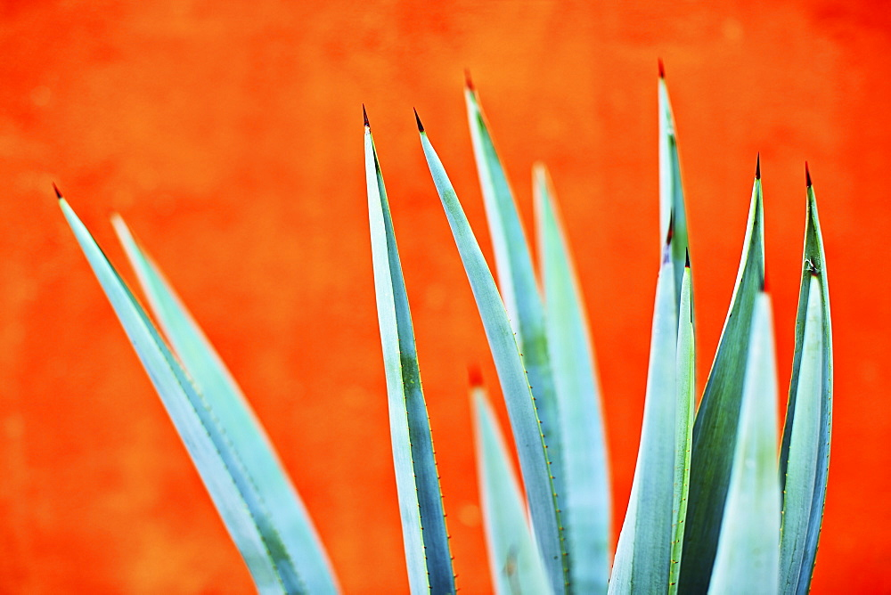 Green agave plant against bright orange wall