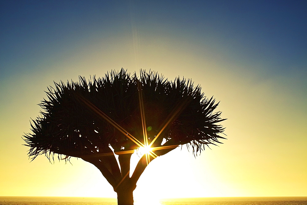 Sunburst shining behind silhouette of tree, Encinitas, California, USA