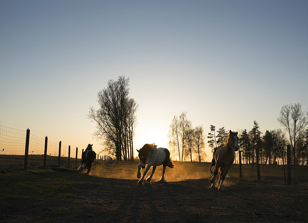 Horses running in idyllic pasture at sunset, Wiendorf, Mecklenburg, Germany