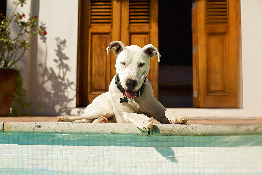 Portrait happy dog laying at sunny poolside