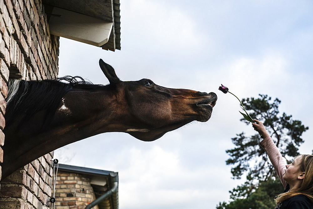 Girl showing tulip to curious horse leaning out barn window - 1177-2887
