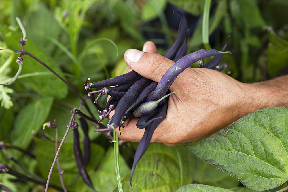 Man harvesting fresh, organic purple beans