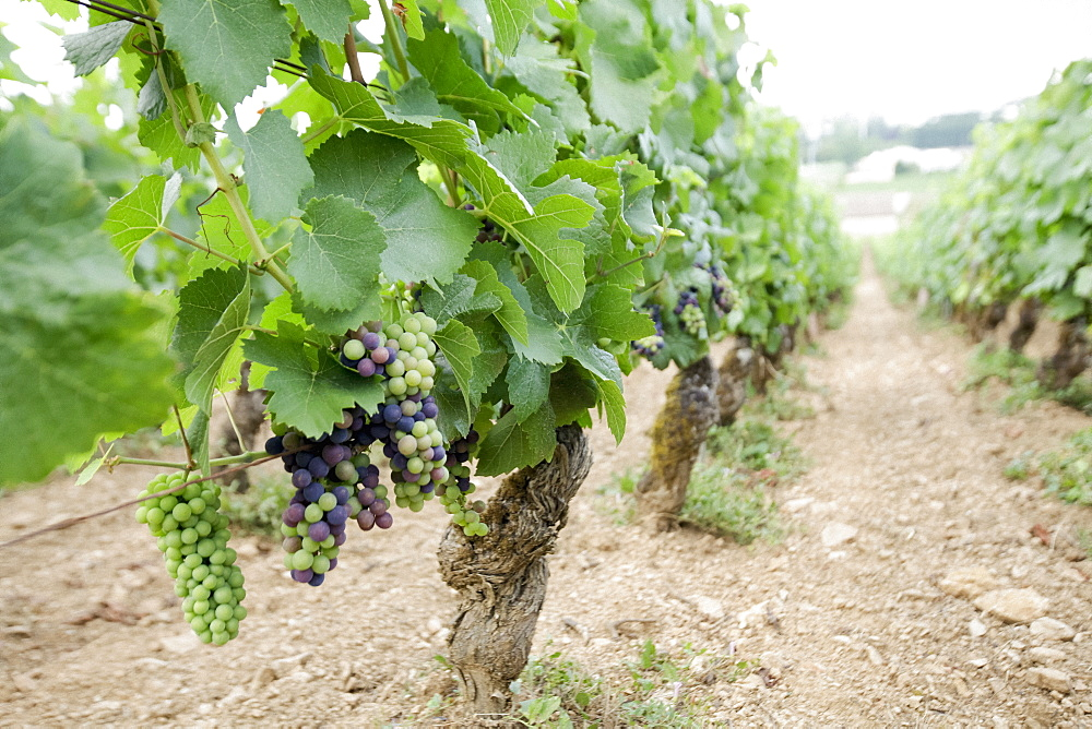 Wine grapes growing on vines in vineyard, Beaune, Burgundy, France