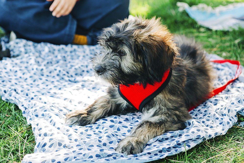 Barbado da Terceira puppy relaxing on picnic blanket in grass