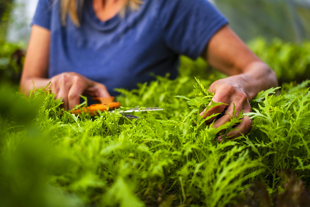 Close up woman trimming vegetable plant - 1177-3317