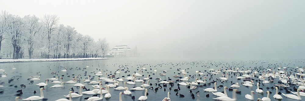 Panoramic view of birds swimming in lake during winter, Lake Atter, Seewalchen, Upper Austria