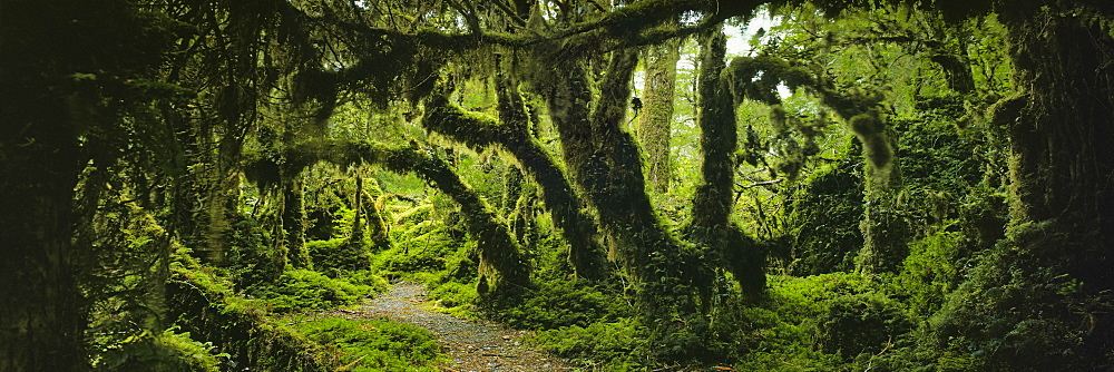 Panoramic view of moss covered trees in forest, Enchanted Forest, Queulat National Park, Patagonia - 1177-1838
