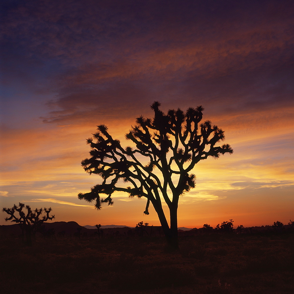 Silhouette of tree in landscape against orange sky during sunset, Joshua Tree National Park, USA - 1177-1845