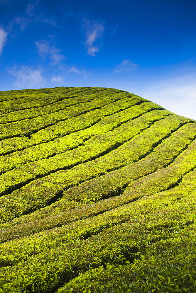Detail of a tea plantation