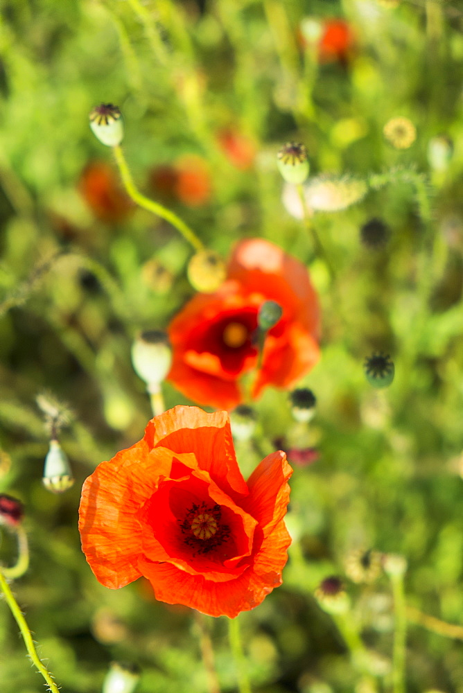 High angle view of poppy flowers