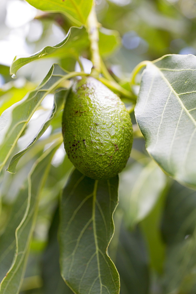 Avocado hanging from tree