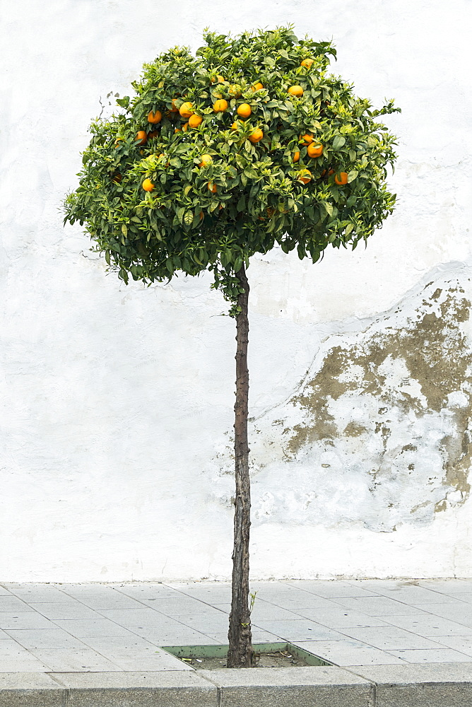 Lemon tree on sidewalk