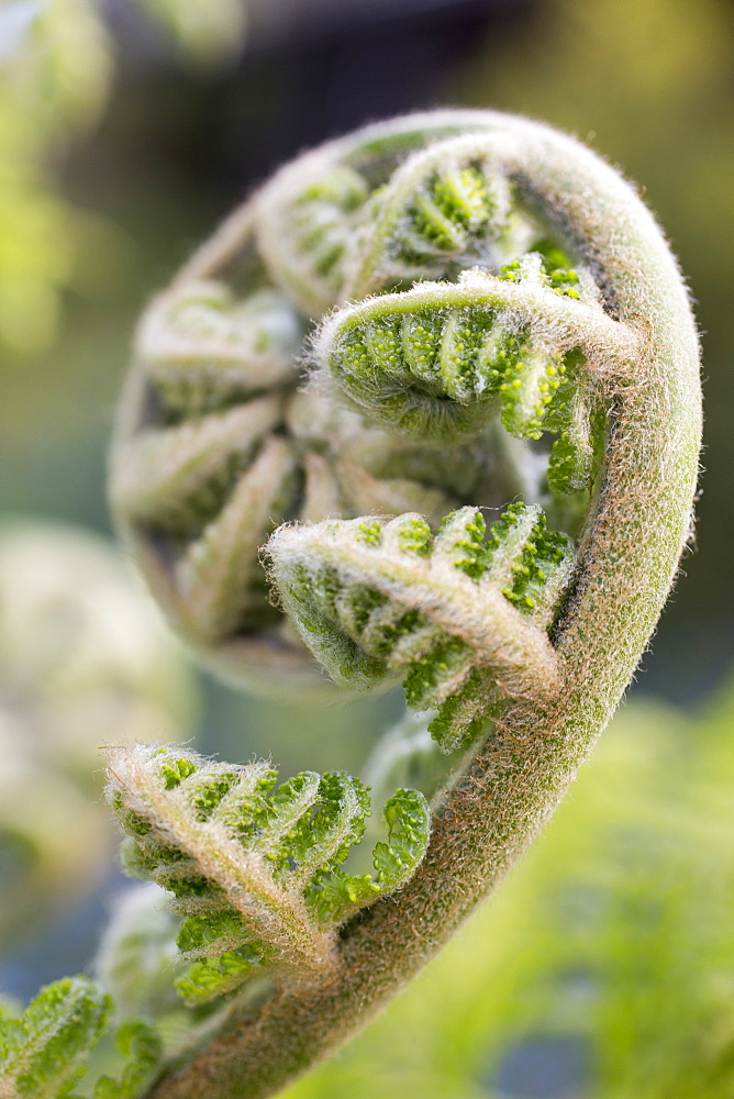 Close-up of fiddlehead fern