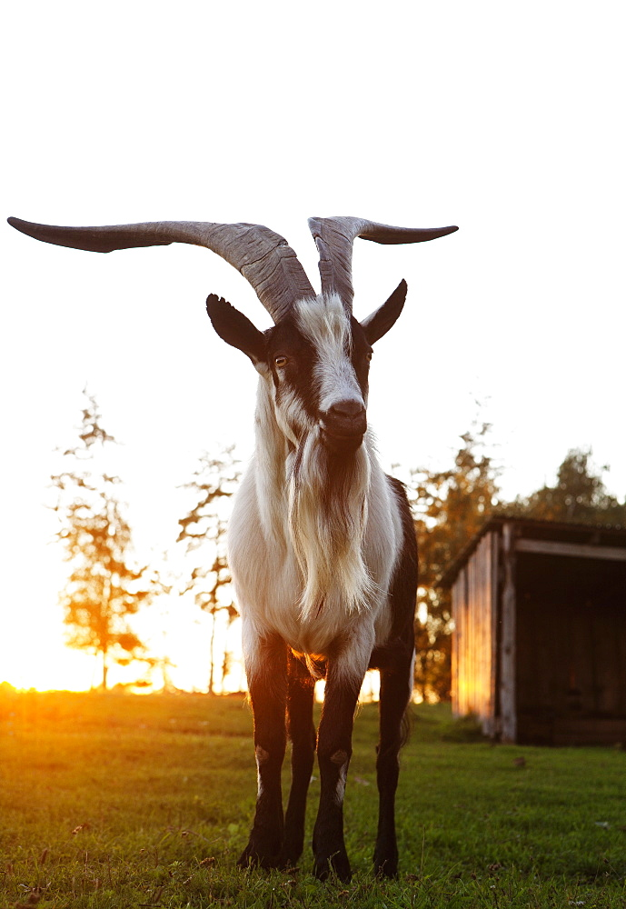 Full length of horned goat standing on field against clear sky