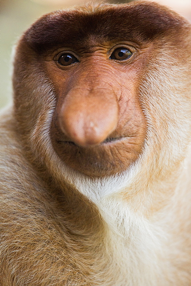 Close-up portrait of proboscis monkey