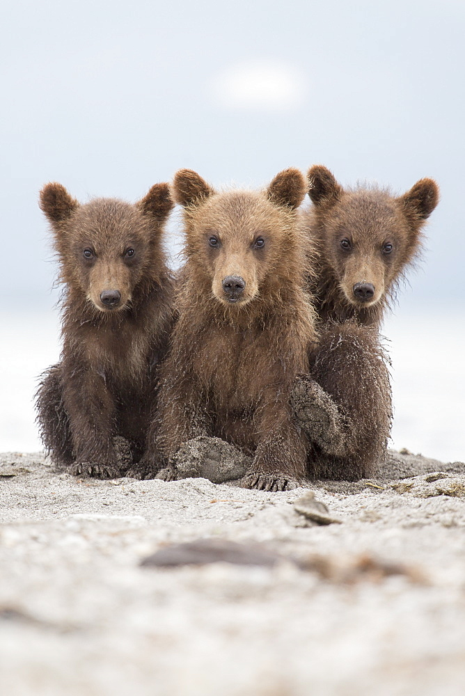 Portrait of Kamchatka brown bears sitting on lakeshore, Kurile Lake, Kamchatka Peninsula, Russia - 1177-1788