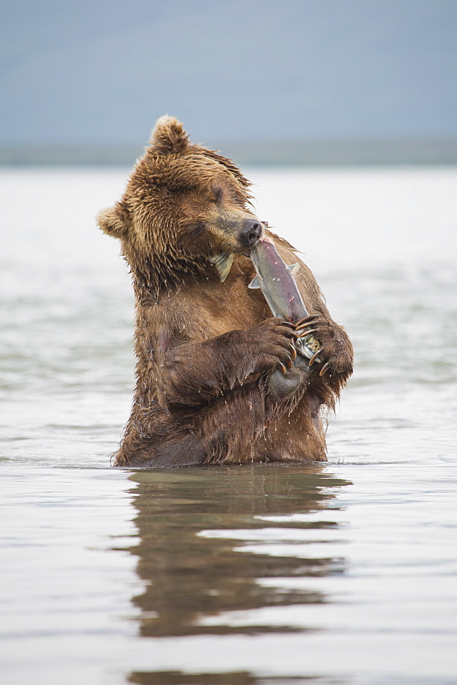 Kamchatka brown bear eating salmon in water, Kurile Lake, Kamchatka Peninsula, Russia