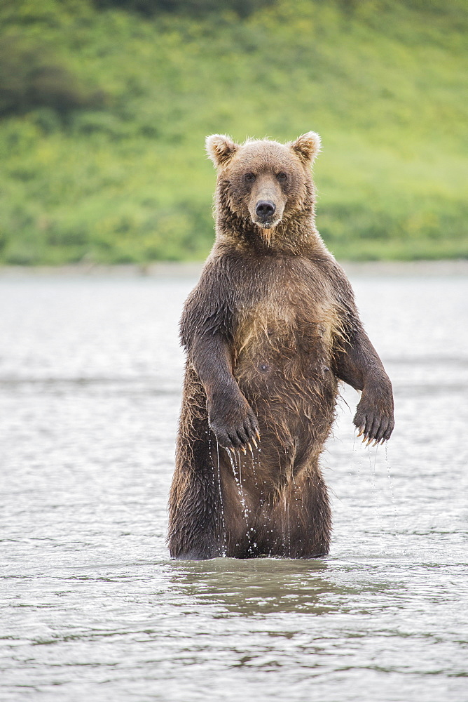 Kamchatka brown bear standing in lake, Kurile Lake, Kamchatka Peninsula, Russia - 1177-1819