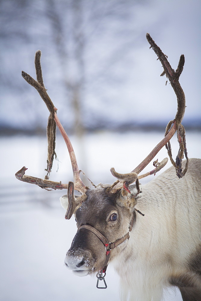 Reindeer with bridle on snow covered landscape, Jukkasjärvi, Sweden