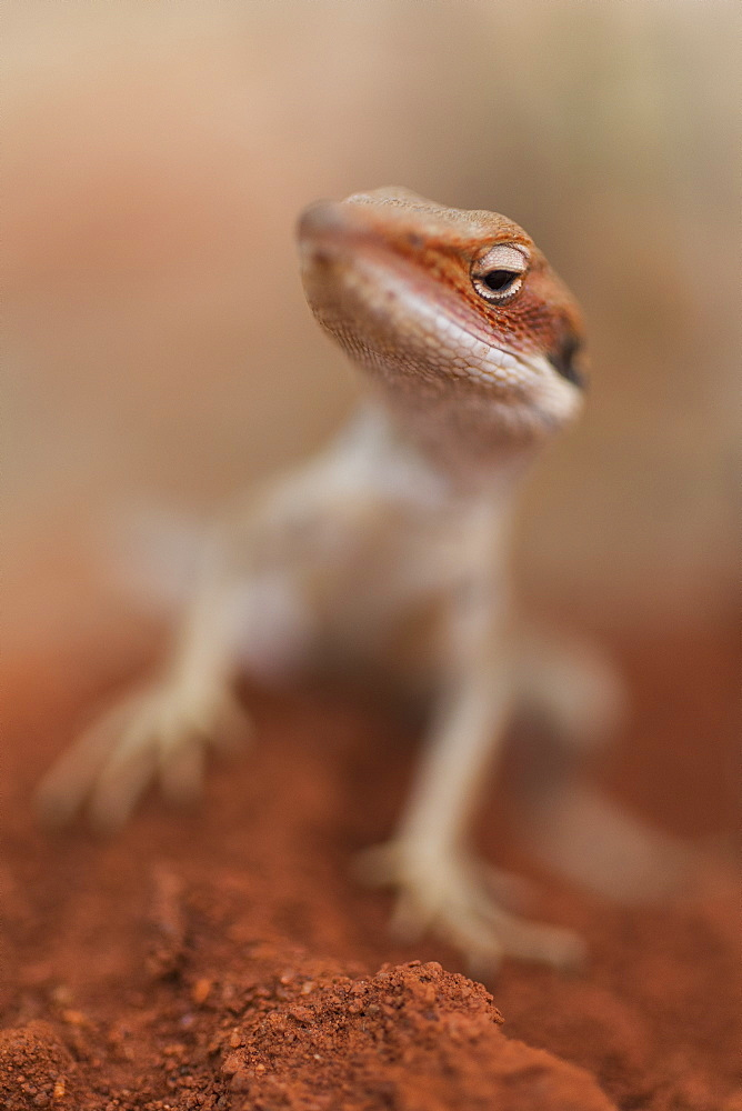 Close up curious gecko