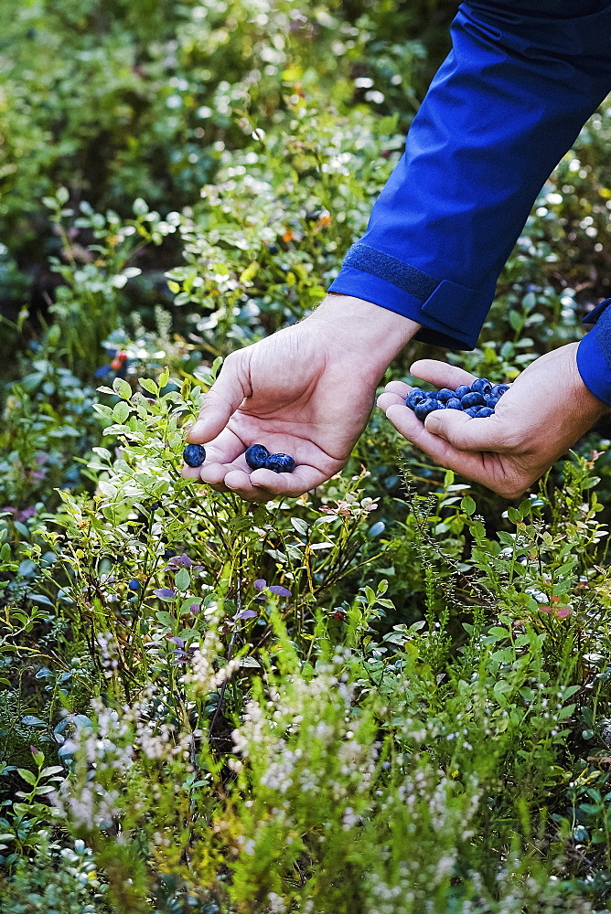 Man harvesting fresh, ripe blueberries