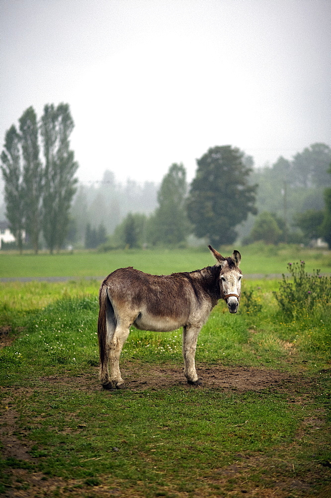 Portrait donkey in rural field, Agassiz, British Columbia, Canada