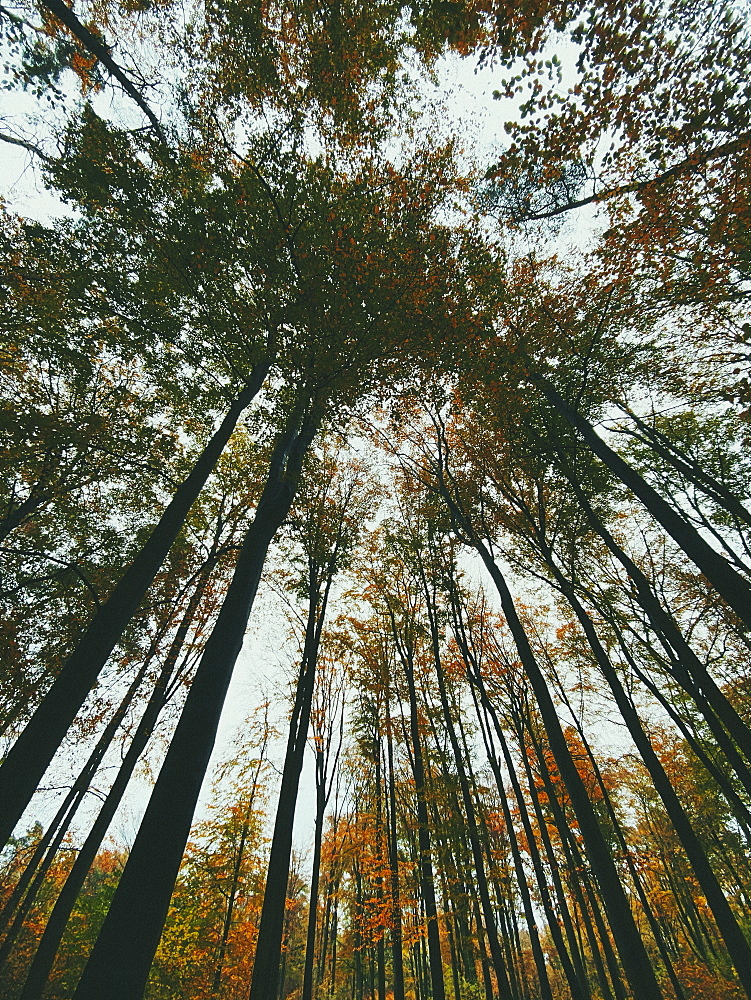 Low angle view tall autumn trees in forest - 1177-3673
