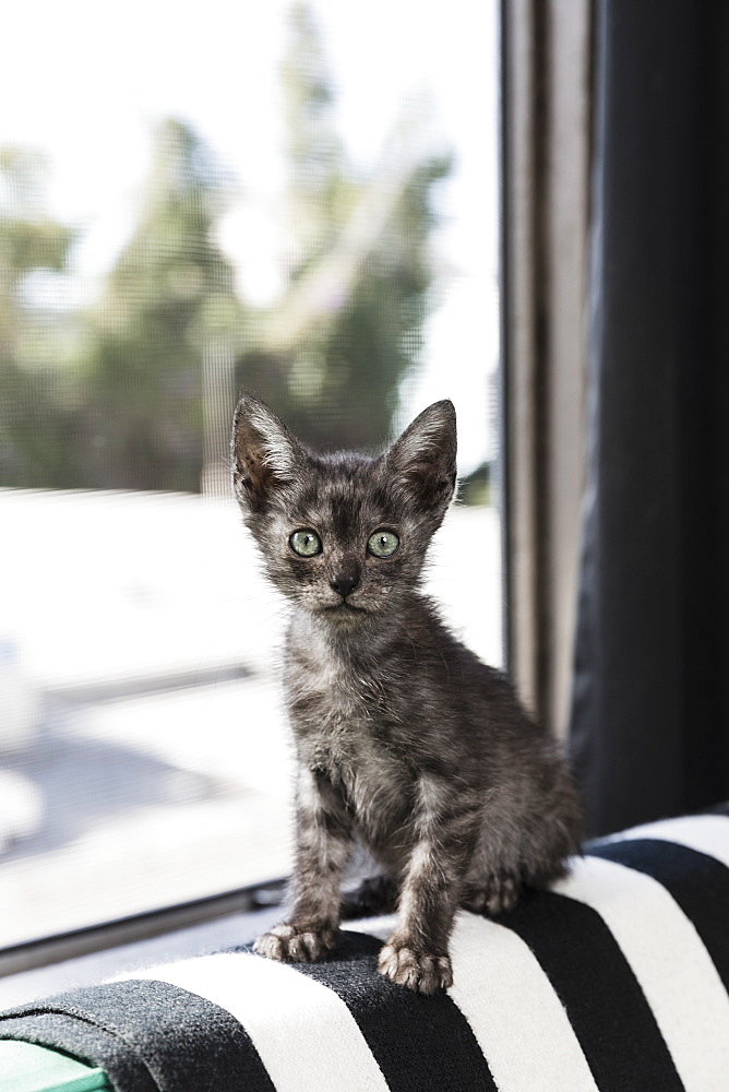 Portrait cute, wide-eyed grey kitten in window