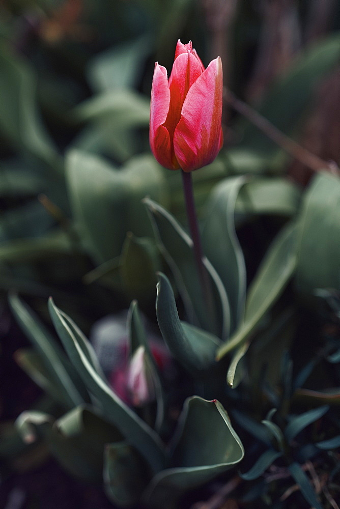 Close up red tulip - 1177-3977