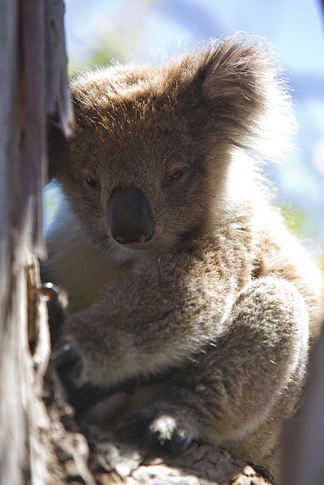 Koala sitting on branch