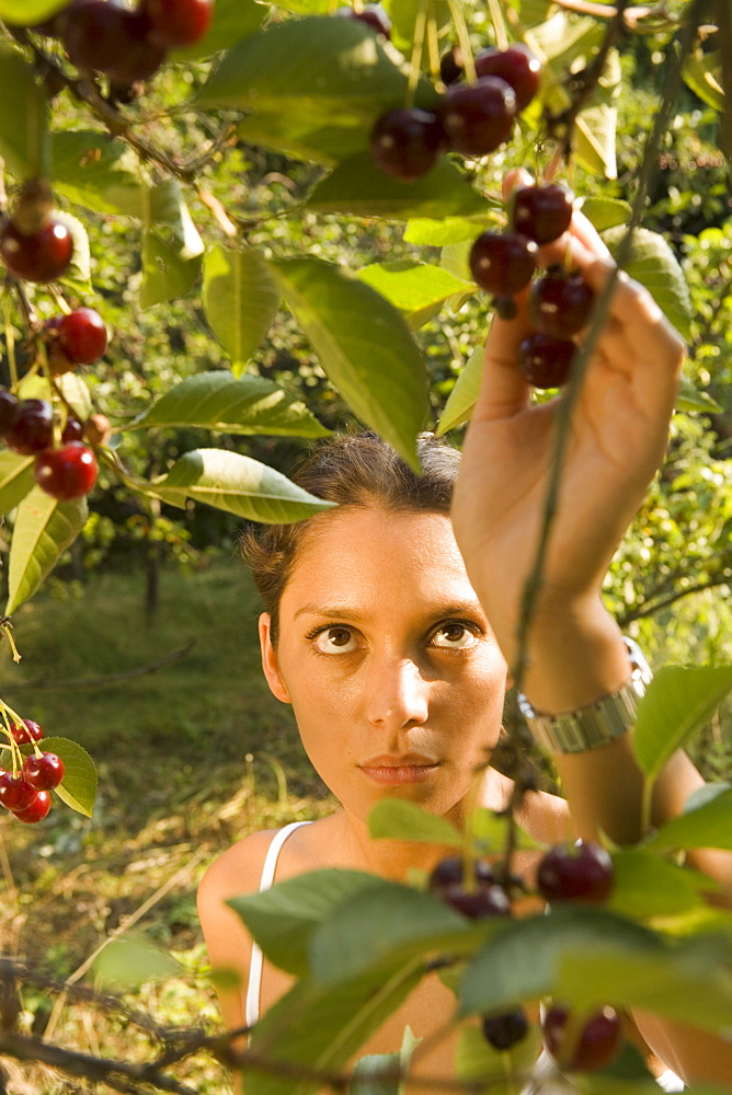 Young woman picking cherries from cherry tree