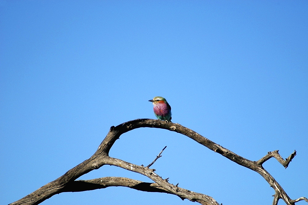 Low angle view of a Lilac-Breasted Roller (Coracias caudata) perching on a tree branch, Kalahari Desert, Botswana