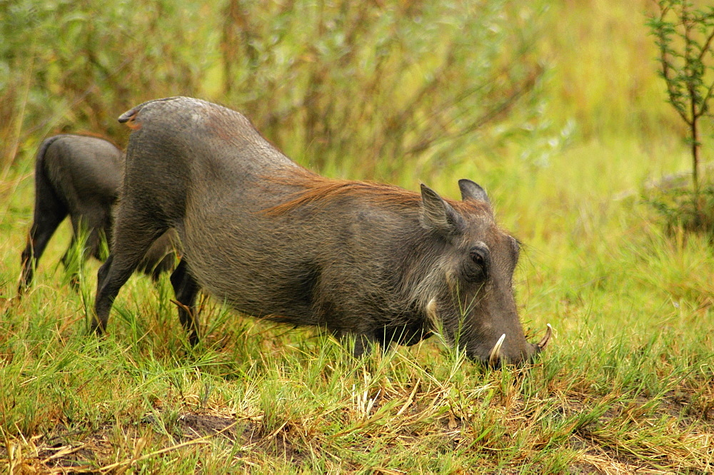 Two Warthogs (Phacochoerus aethiopicus) looking for meal in a forest, Okavango Delta, Botswana