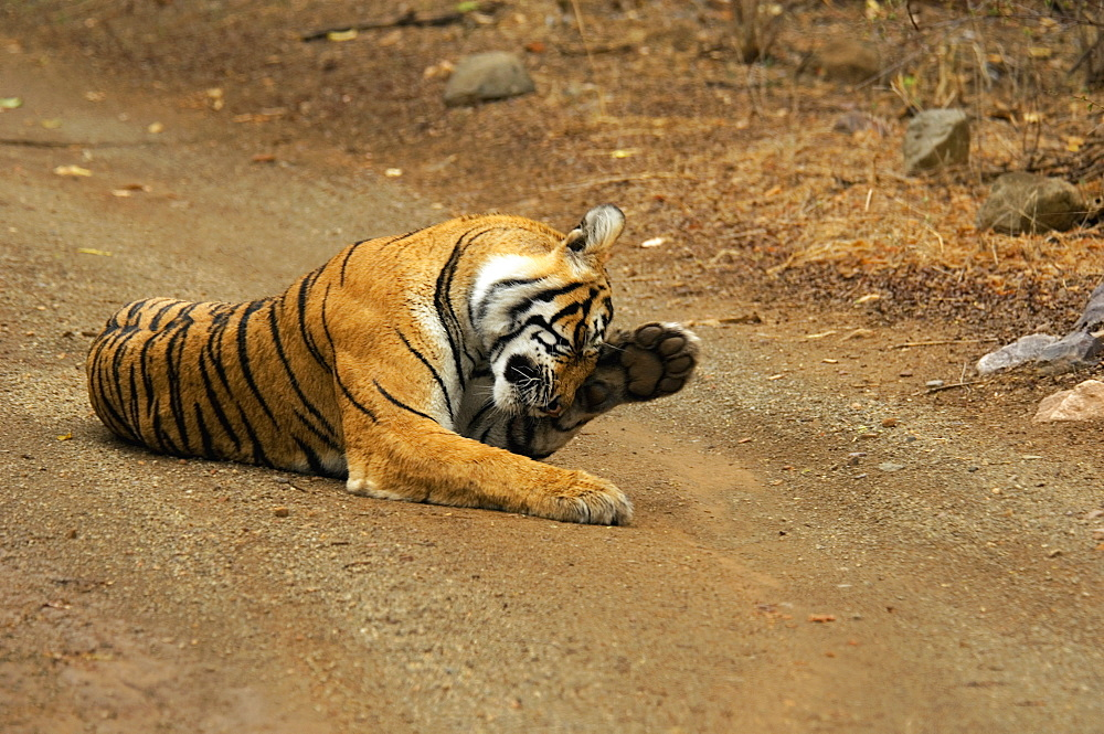Tigress (Panthera tigris) lying on the dirt road and rubbing her eyes, Ranthambore National Park, Rajasthan, India