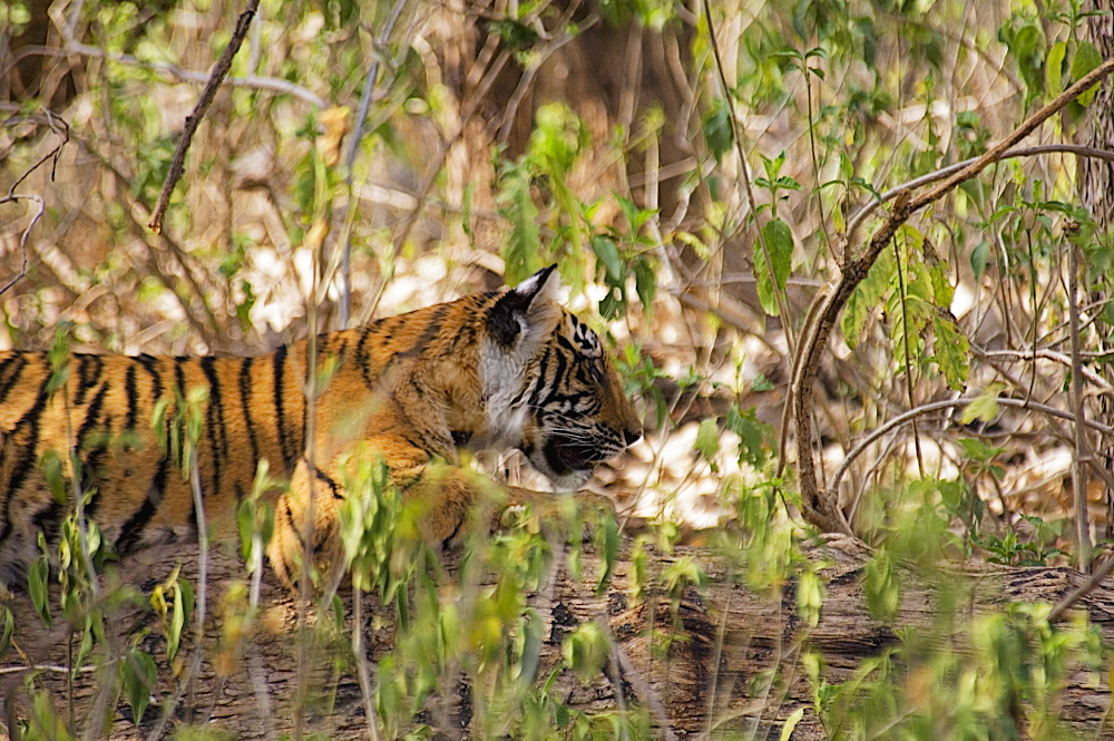 Tiger (Panthera tigris) cub sleeping in a forest, Ranthambore National Park, Rajasthan, India