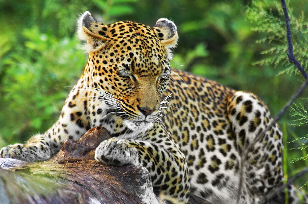 Leopard (Panthera pardus) resting on a tree in a forest, Motswari Game Reserve, Timbavati Private Game Reserve, Kruger National Park, Limpopo, South Africa