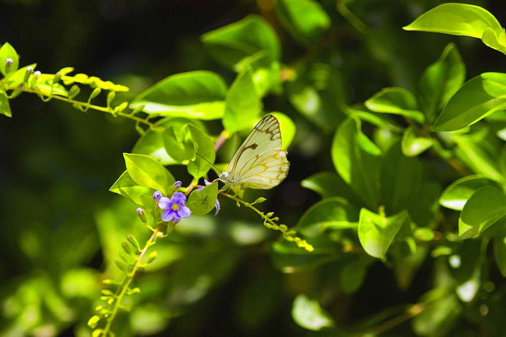 Close-up of a Pine White butterfly (Neophasia Menapia) on a plant