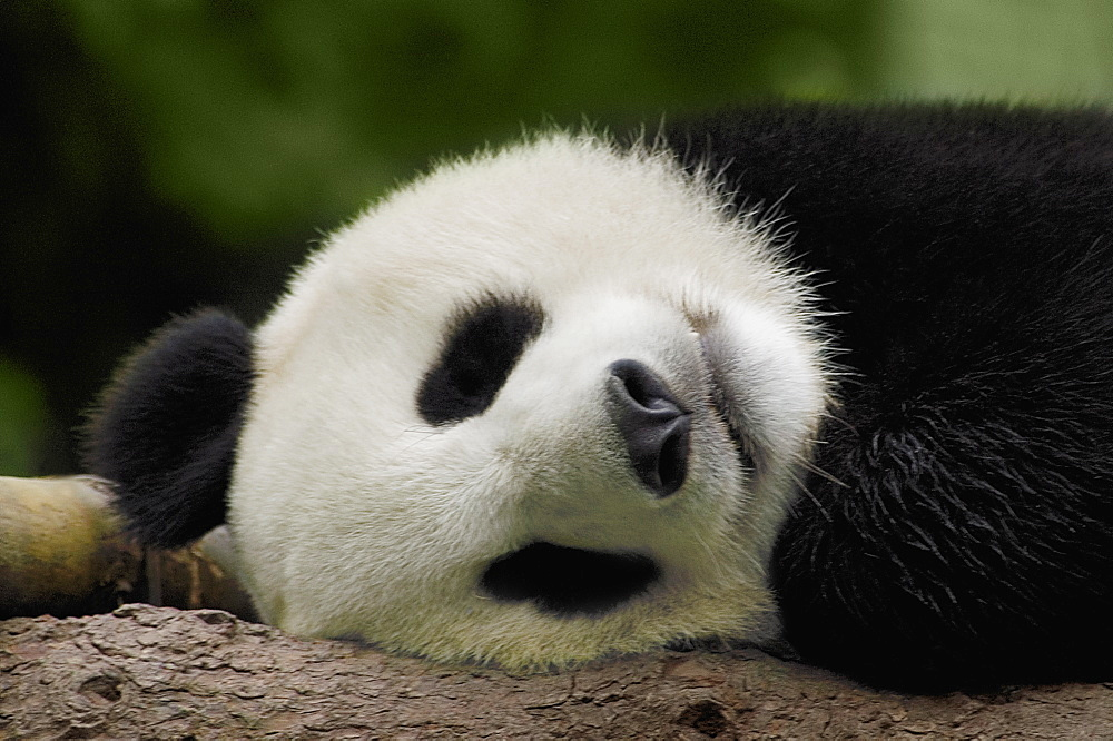 Close-up of a panda (Alluropoda melanoleuca) sleeping - 788-10573