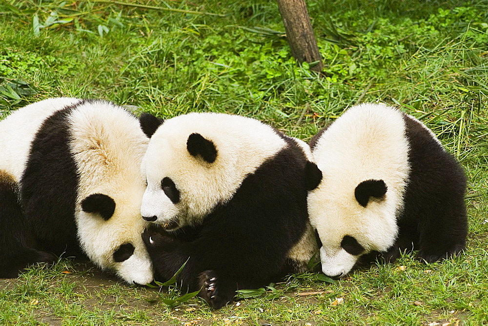 Three pandas (Alluropoda melanoleuca) sitting in a field