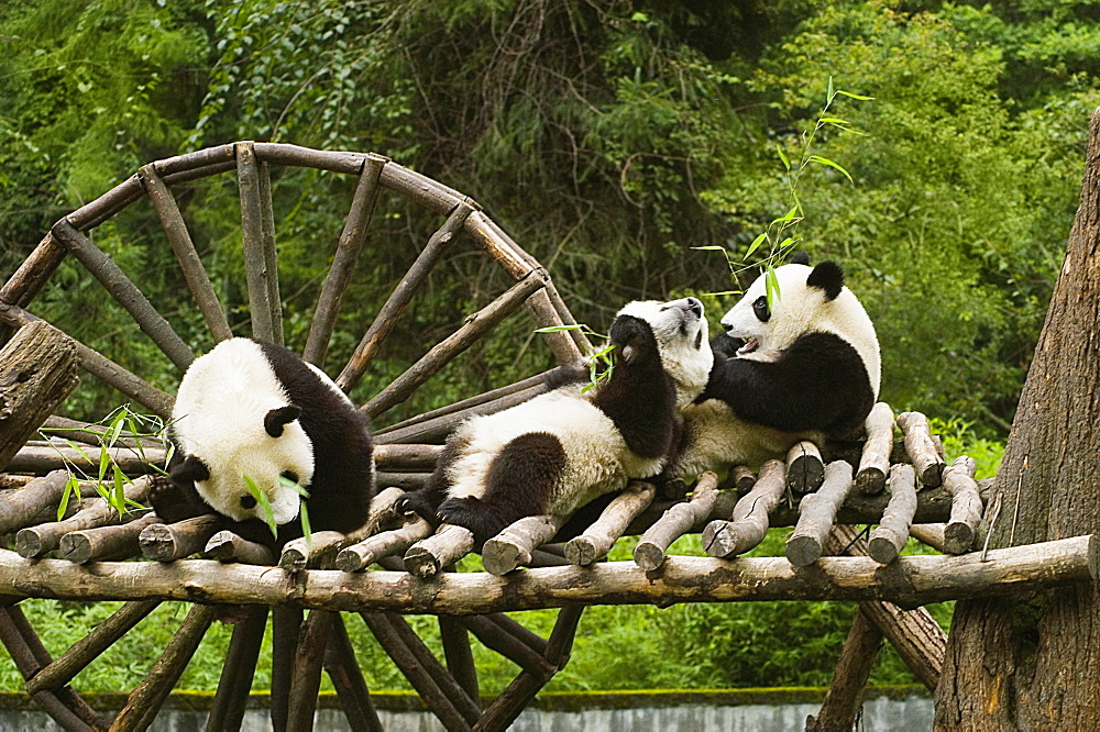 Three pandas (Alluropoda melanoleuca) sitting on a wooden platform - 788-10616