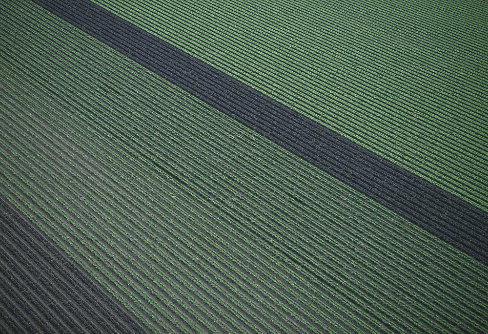 Aerial of red and green leaf lettuce field