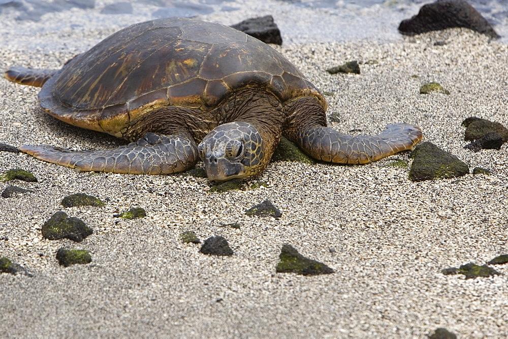 Close-up of a tortoise on the beach, Puuhonua O Honaunau National Historical Park, Kona Coast, Big Island, Hawaii Islands, USA